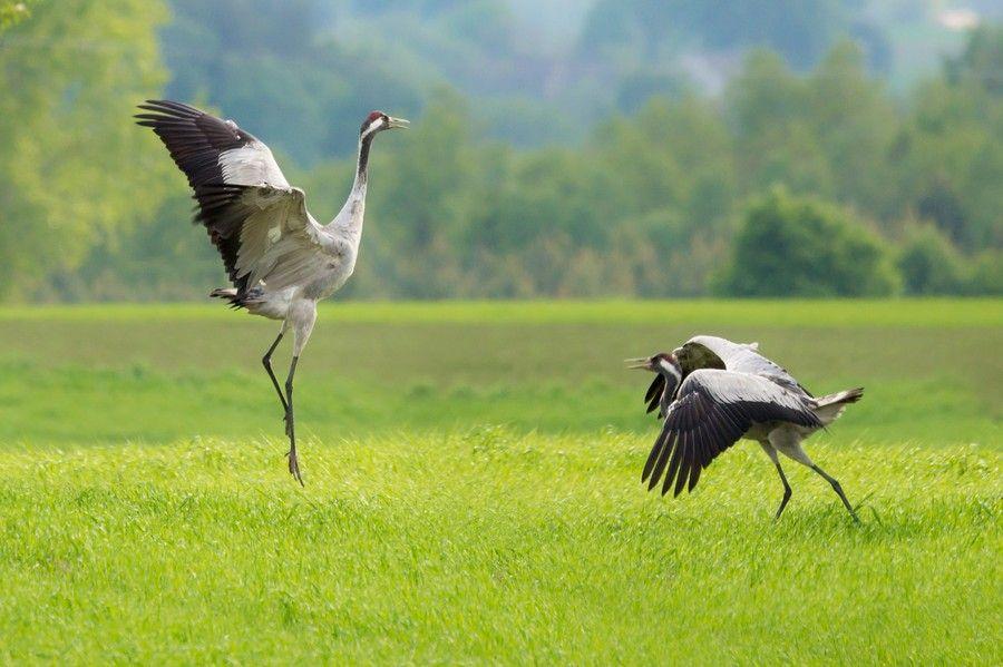 Żuraw jest symbolem Krajeńskiego Parku Krajobrazowego, fot. Łukasz Gwiżdziel